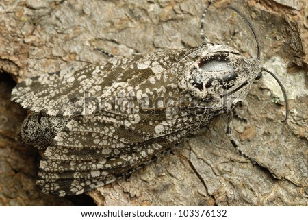 Close-up of gray and brown moth camouflaged on tree bark - stock photo