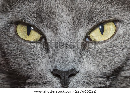 Close-up of gray cat with yellow green eyes - stock photo