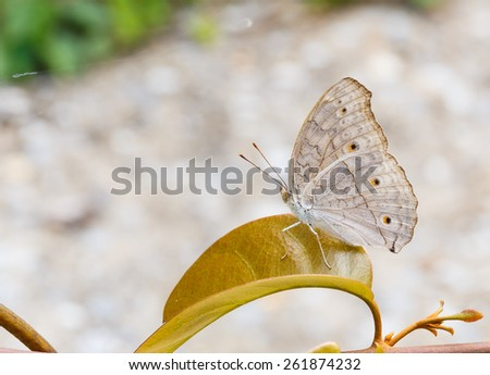 Close up of Gray Pansy or Grey Pansy (Junonia atlites) butterfly on leaf - stock photo