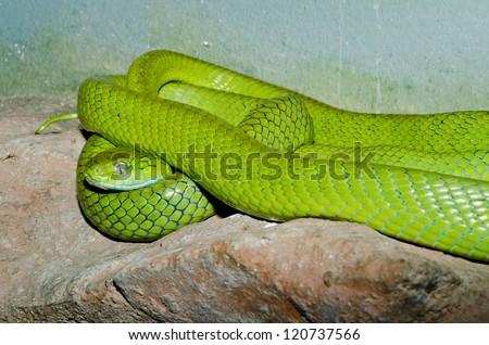Close up of Green Cat-eye snake, Thailand. - stock photo