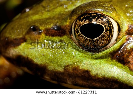 close up of green frogs head