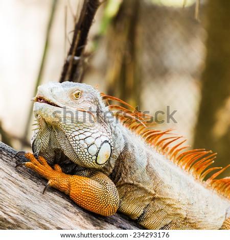 Close-up of Green Iguana on wood - stock photo