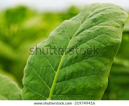 Close up of green leaf tobacco in a blurred tobacco field background, Germany - stock photo