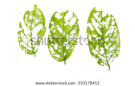 close-up of green leaf with holes isolated on white background - stock photo
