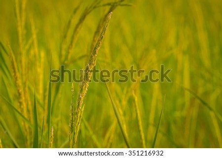 Close up of green paddy rice. Green ear of rice in paddy rice field under sunrise, Blur Paddy rice field in the morning background. - stock photo