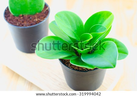 Close up of green plant at black flower pot on wooden table - stock photo