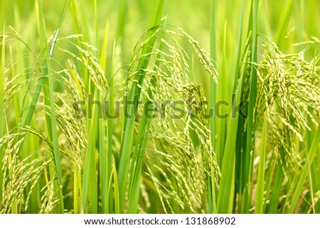 Close up of Green rice in Sapa, Vietnam. - stock photo