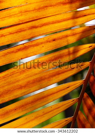 close up of green yellow brown coconut leafs outdoor as natural fresh tropical color texture backdrop background - stock photo
