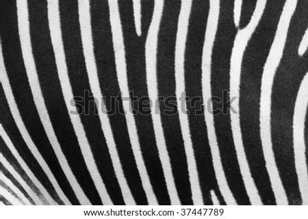 Close up of Grevys zebra (Equus grevyi) skin - stock photo