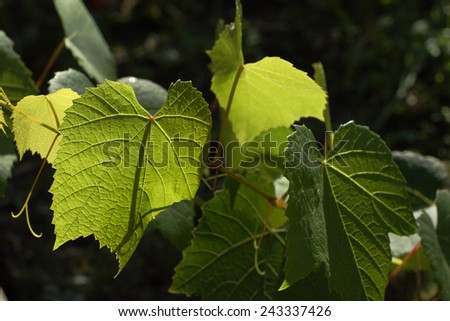 Close-up of growing grape vine with a sunbeam - stock photo
