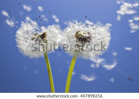 Close up of grown dandelions and dandelion seeds in the sunlight blowing away across the blue sky background - stock photo