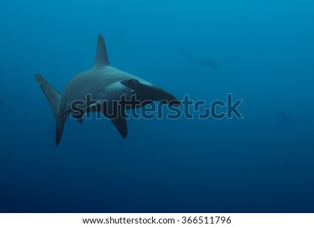Close up of hammerhead shark in the deep blue