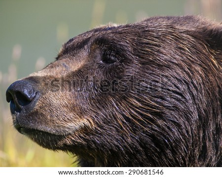 Close up of head of brown bear in Alaska, USA. - stock photo