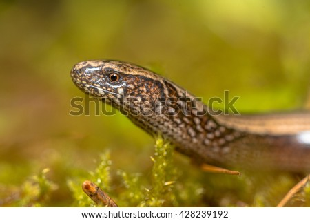Close up of head of Slow Worm (Anguis fragilis) on moss in a forest of Dolomites, Italy