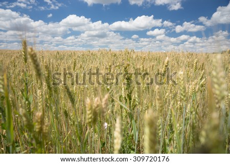 Close up of healthy young ripening ears of wheat in an agricultural field under a sunny blue sky with white clouds - stock photo