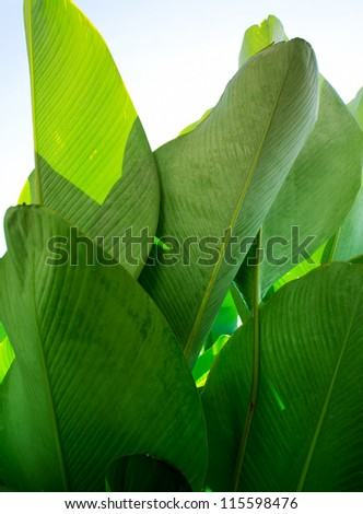 Close up of Heliconia Green Leave Texture - stock photo