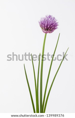 Close up of herb chive including flower on plain background - stock photo