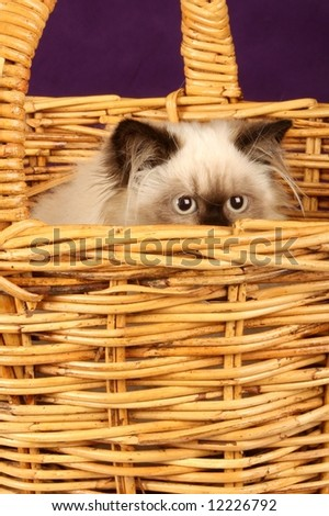close up of himalayan persion kitten in cane wicker basket - stock photo
