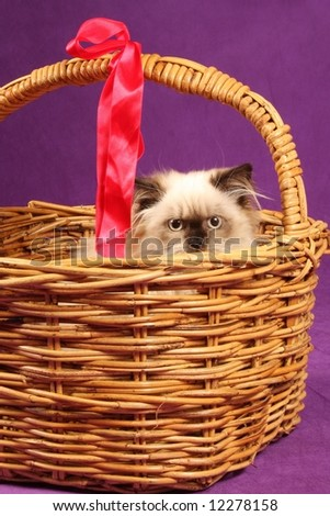 close up of himalyan persion kitten in cane wicker basket - stock photo