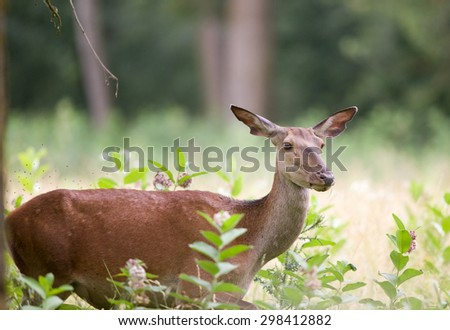 Close up of hind standing in high grass in forest - stock photo