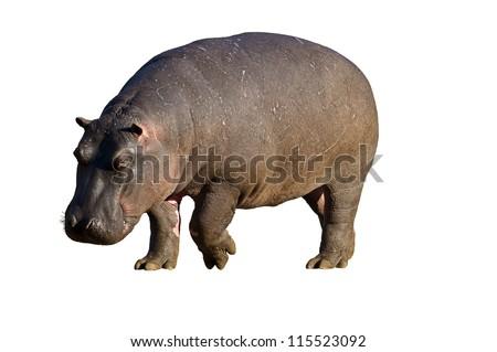 Close-up of Hippopotamus against a white background; hippopotamus amphibius - stock photo