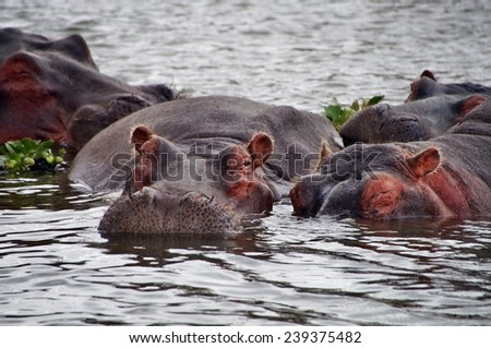 Close-up of hippos in the water of Laka Naivasha, Kenya - stock photo
