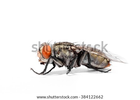 close-up of House fly isolated on white background - stock photo