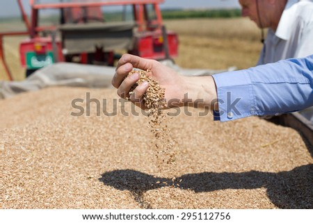 Close up of human hand pouring wheat grain in trailer after harvest in the field - stock photo