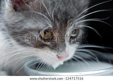 Close up of hungry cat with whiskers drinking milk. White, grey kitten licking milk. Black background - stock photo