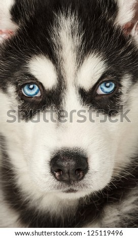 Close up of husky muzzle. Focused between eyes. - stock photo