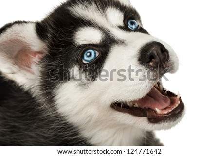 Close-up of husky puppy muzzle or face with mouth open. Focused on eye. - stock photo