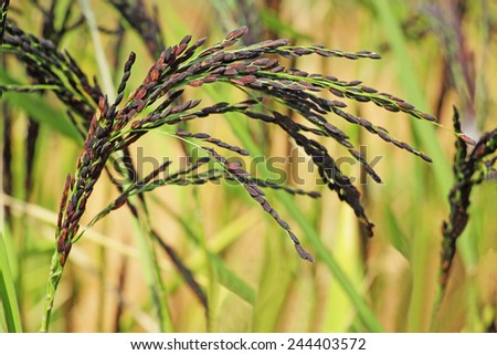 Close up of hybrid rice paddy plant stalk with grains from India. - stock photo