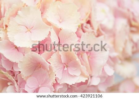 Close up of Hydrangea flower - stock photo