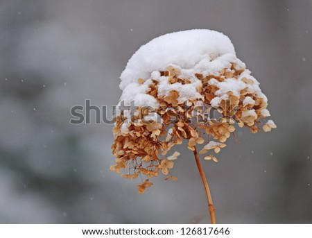 Close-up of hydrangea flower in winter with a cap of snow - stock photo