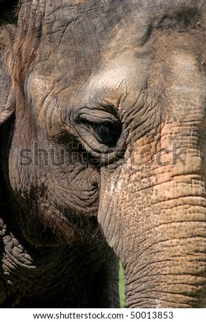 Close up of Indian Elephant