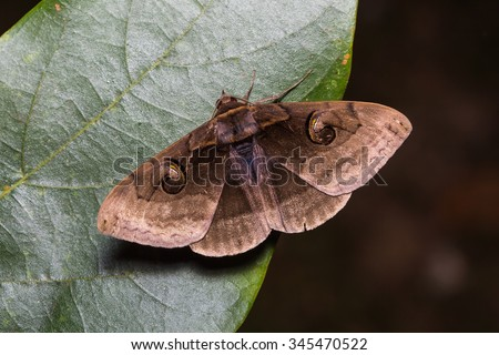 Close up of Indian Owlet-moth (Spirama retorta) on green leaf in nature, flash fired - stock photo