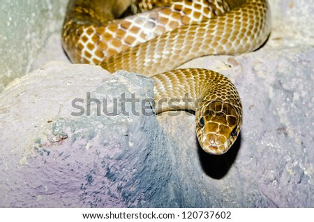 Close up of Indo-Chinese Rat snake, Thailand. - stock photo