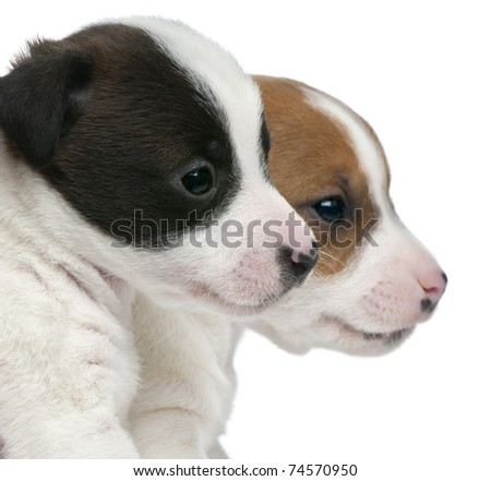 Close-up of Jack Russell Terrier puppies, 5 weeks old, in front of white background - stock photo
