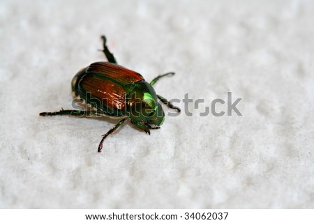 Close up of japanese beetle - stock photo
