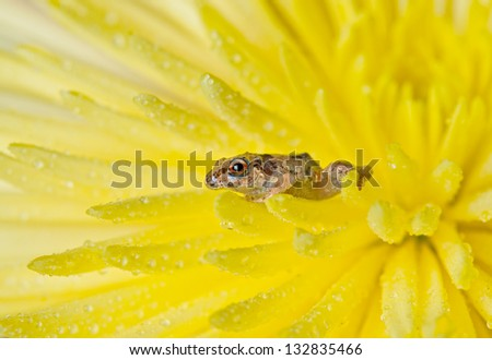close up of juvenile frog on yellow frog - stock photo