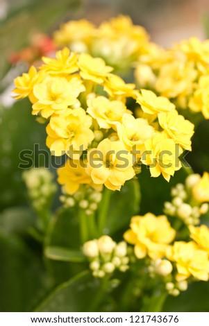 Close up of Kalanchoe flowers. - stock photo