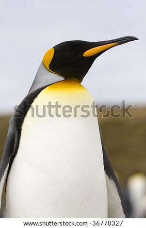 Close-up of king penguin (Aptenodytes patagonicus) at Volunteer Point, Falkland Islands - stock photo