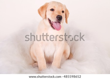 Close-up of Labrador Retriever puppy isolated on white background