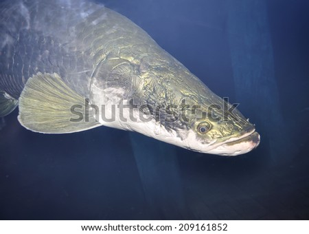 Close up of large Arapaima, It is a genus of bonytongue native to the Amazon and Essequibo basins in South America, selective focus. - stock photo