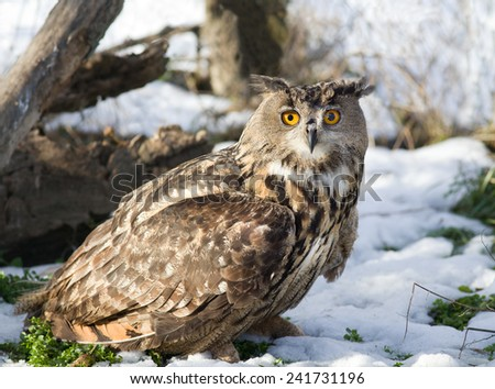 Close up of large Eagle Owl standing on grass with snow - stock photo