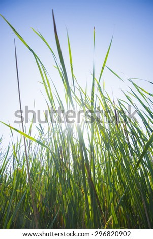 Close up of large grass blades with sun glare  - stock photo
