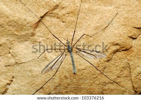 Close-up of large mayfly on rock - stock photo
