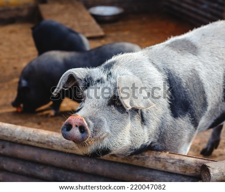 close up of large pig at a farm - stock photo