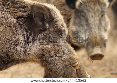close up of large wild boar male with big tusks ( Sus scrofa ) - stock photo