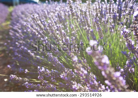 Close Up of Lavender field. Sunny Shot with a selective focus